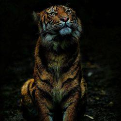 Tiger in Dark iPhone Wallpaper | +100 Iphone